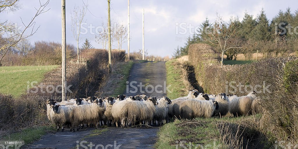 Sheep Roadblock stock photo
