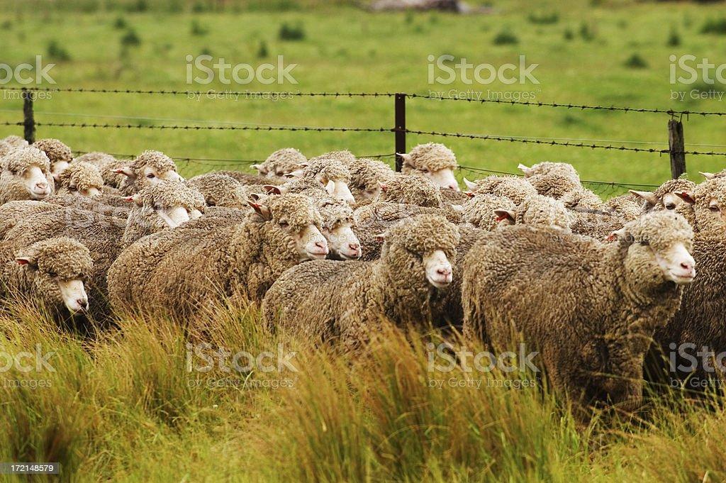 Sheep running alongside a road stock photo