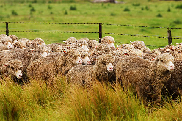 Sheep running alongside a road stock photo