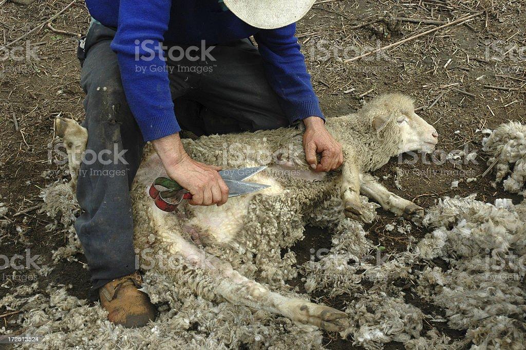 Sheep Shearer stock photo