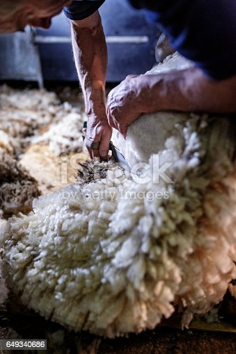 Portrait of a sheep shearer at work using a pair of old fashioned shears to cut the fleece away from the skin. The shears are incredibly slow compared to the modern electric shears but the according to the shearer the final cut is nicer. Photographed on a sheep farm in Denmark.