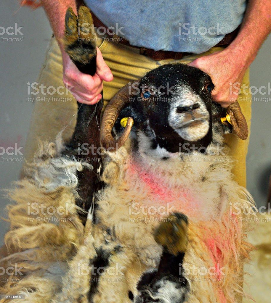 Sheep shearing at Kissane Farm / Kerry/ Ireland stock photo