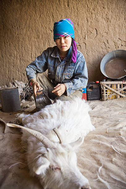 sheep shearing in home woman doing sheep shearing in home, Inner Mongolia, China. mongolian culture stock pictures, royalty-free photos & images