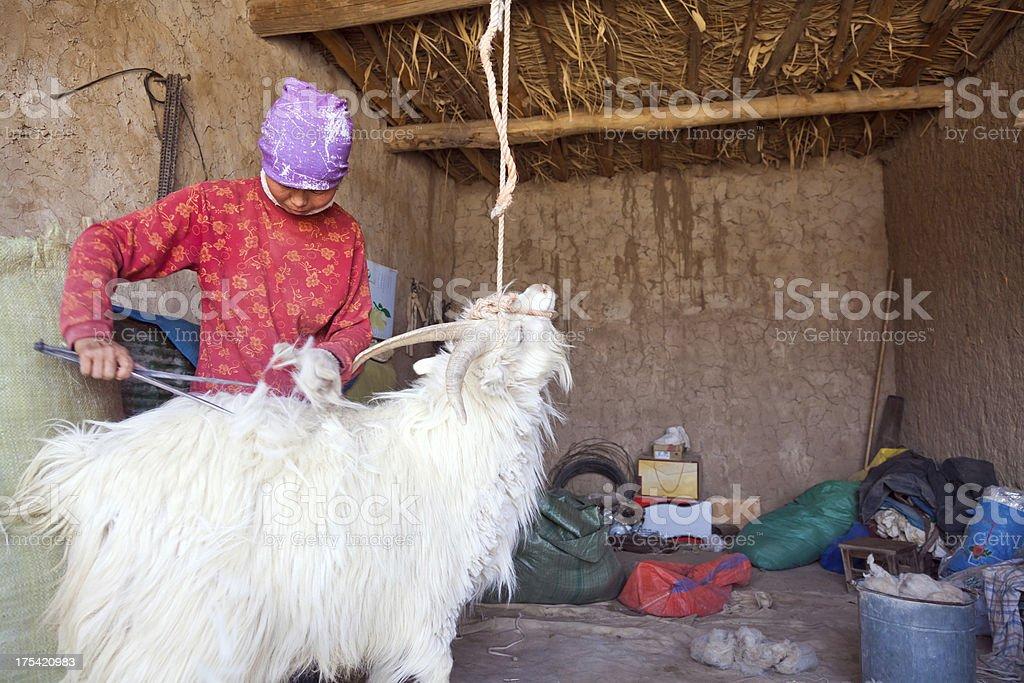 sheep shearing royalty-free stock photo
