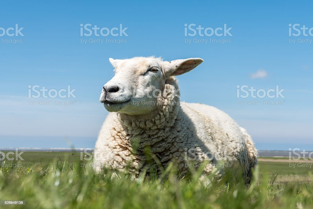 sheep sitting in the grass in blue sky stock photo