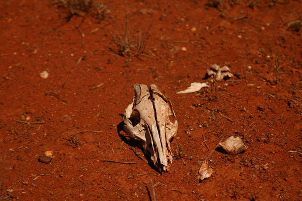 Sheep skeleton at outback Australia_0088 stock photo