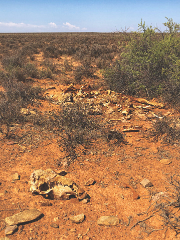 A Sheep skeleton carcass remains with the skull separated and half disbanded in the field Victoria West South Africa