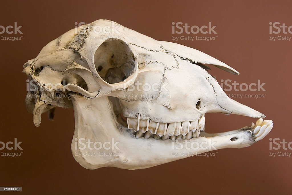 Sheep skull royalty-free stock photo