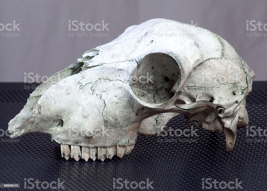 Sheep Skull royalty-free stock photo