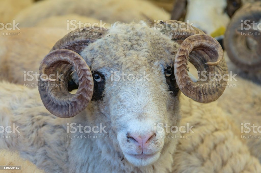 Sheep sold in the animal market for the sacrifice feast (Turkish Kurbanlik pazarinda satilan koyunlar) stock photo