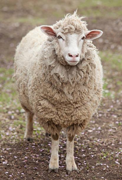 moutons debout dans le champ - année du mouton photos et images de collection