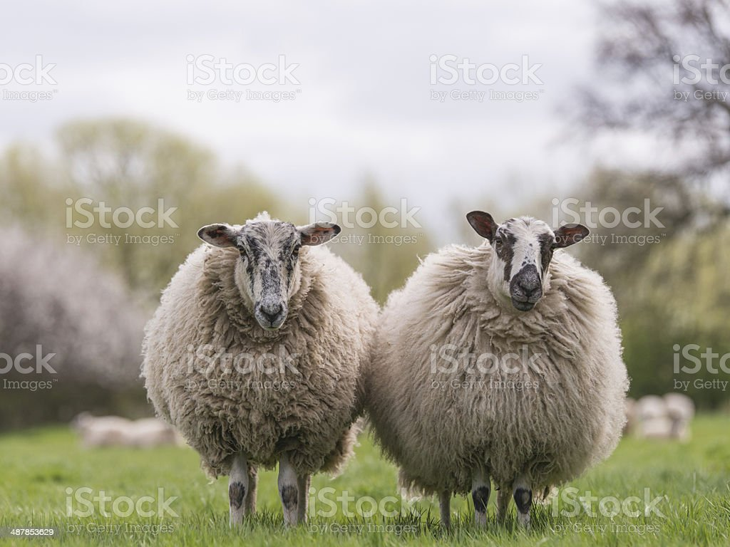 sheep standing in meadow stock photo