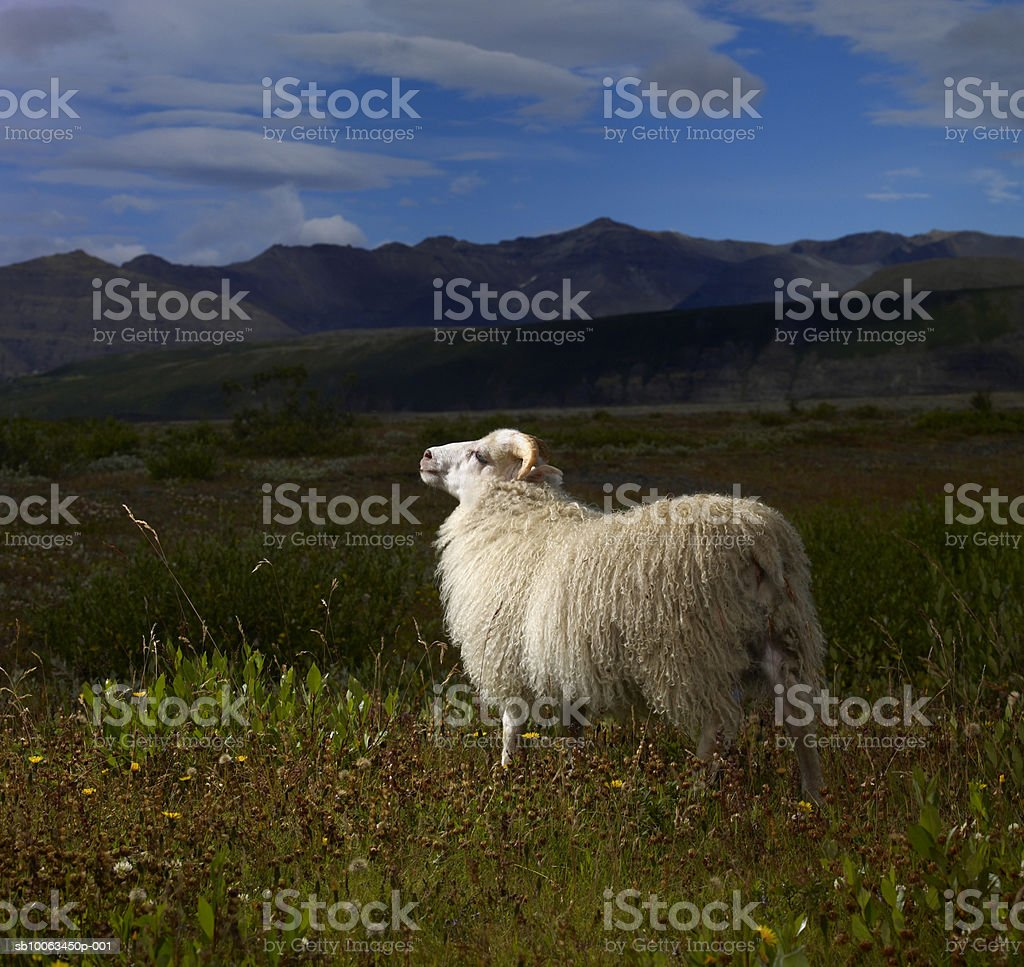 Sheep standing in Skaftafell National Park royalty-free stock photo