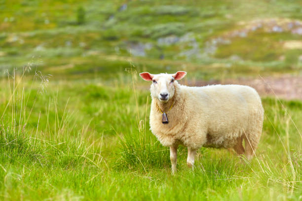 Sheep standing on meadow in sunny day. Scene from Norwegian mountain pastures. Cute sheep with a bell stock photo