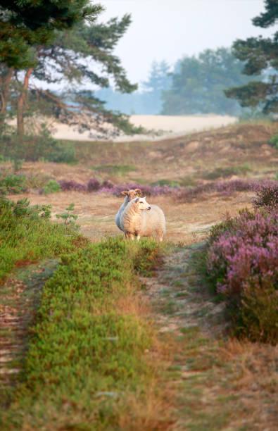schapen staan op de weg en bloeiende heide in de zomer foto
