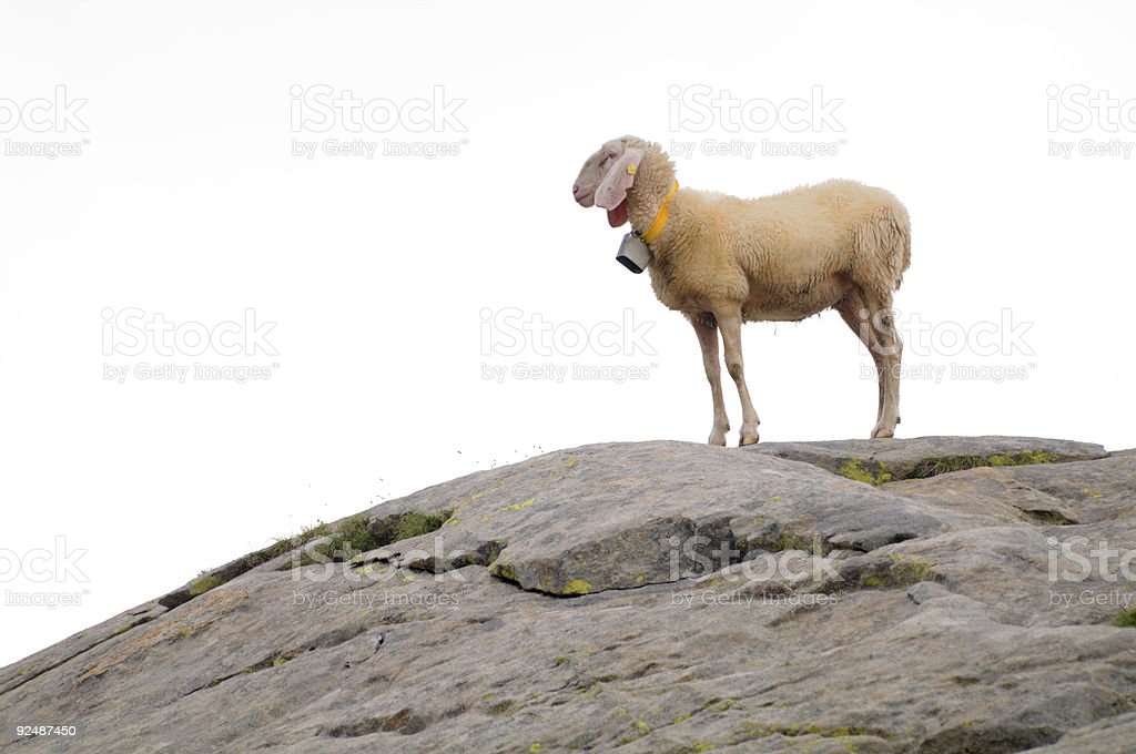 sheep standing upon a rock, isolated on white royalty-free stock photo