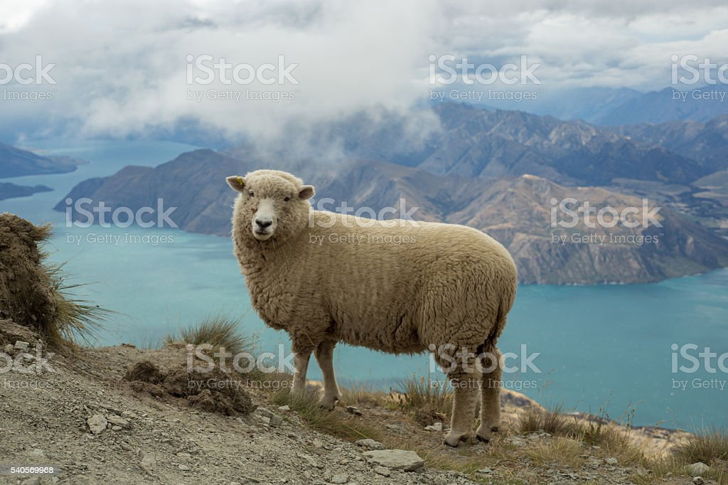 Sheep stands on a mountain ridge above lake stock photo