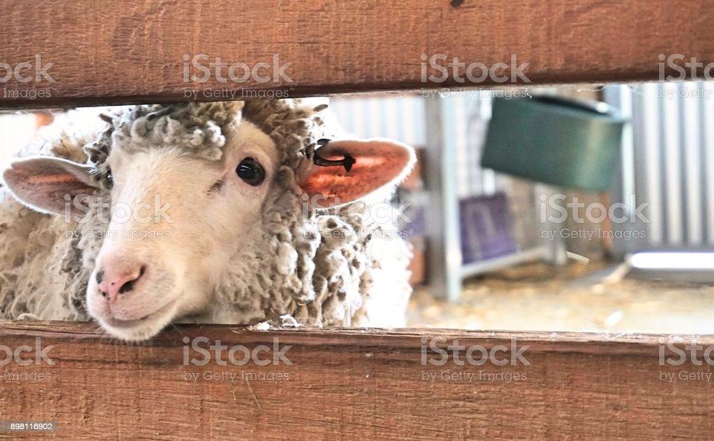 Sheep sticking it head through fence stock photo