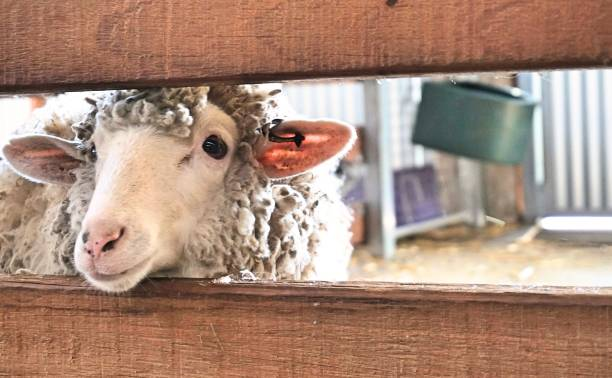 Sheep sticking it head through fence stock photo