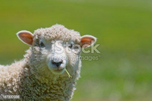 Scotland sheeps in a grass field sunset light Ewes