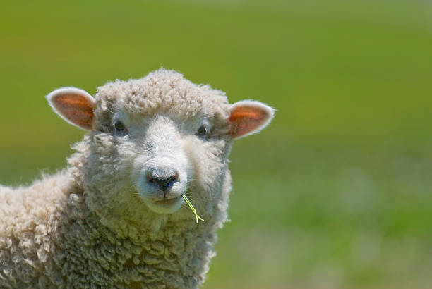 Sheep Strikes a Casual Pose  herbivorous stock pictures, royalty-free photos & images