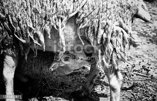 Sheep sucking mother in animal farm, nature life