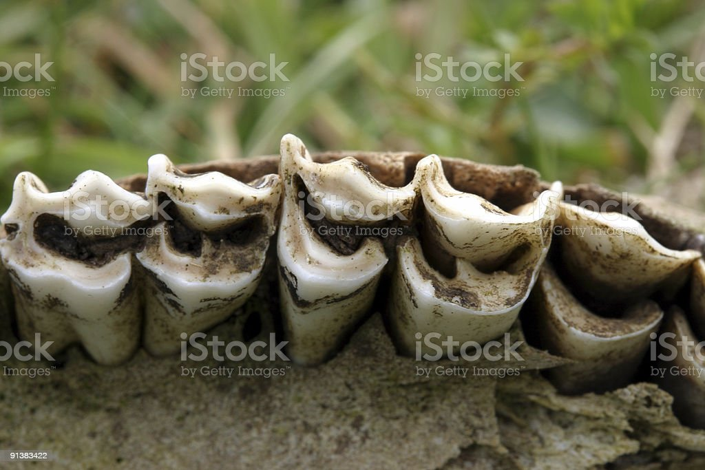 Sheep Teeth Stock Photo & More Pictures of Animal Bone | iStock