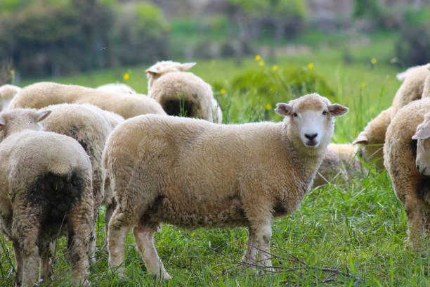 Schafe, die Catlins, Südinsel, Neuseeland – Foto