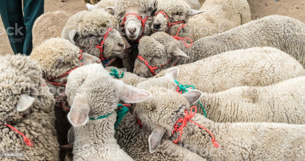 Sheep tied together at an animal market stock photo