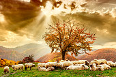 istock Sheep under the tree and dramatic sky 465732258
