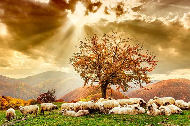 Pecore sotto l'albero e il cielo minaccioso - foto stock