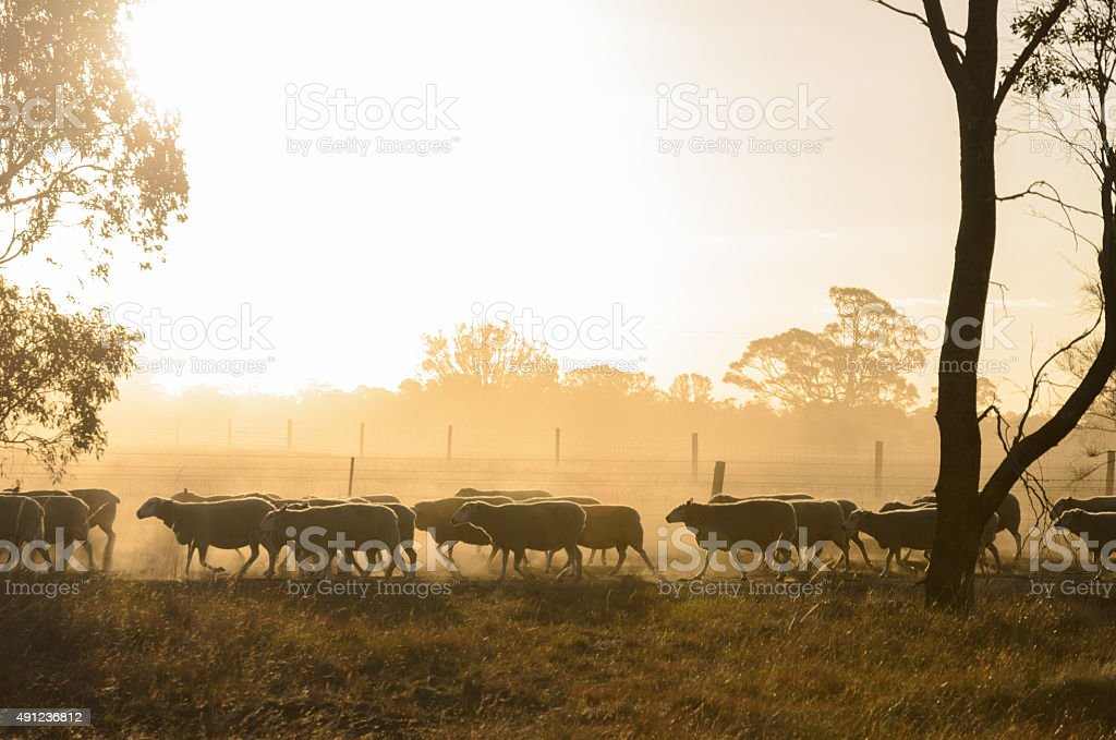 Sheep walk along fence at sunset stock photo