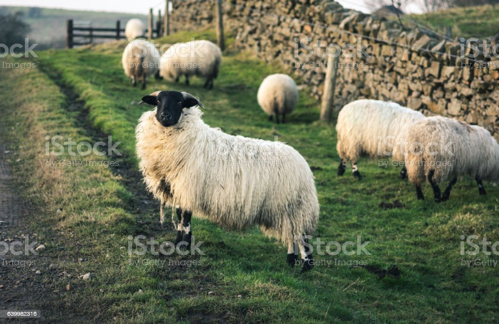 Sheep with black face stock photo