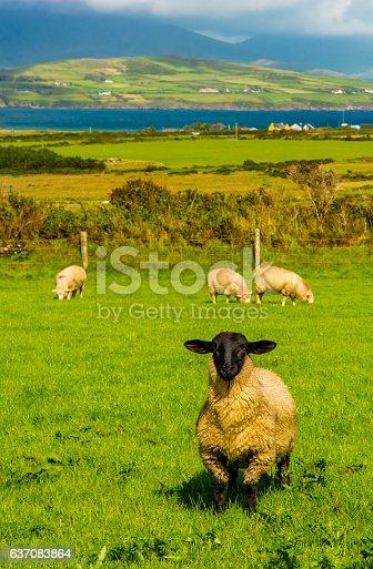istock Sheep with black head in Ireland 637083864