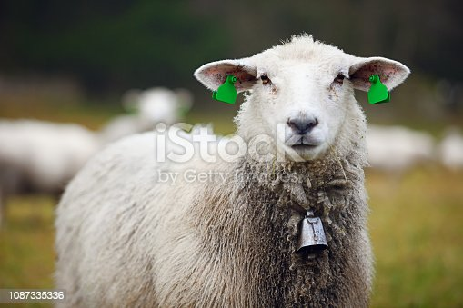 Portrait of furry sheep with ear tags and bell in field, close-up