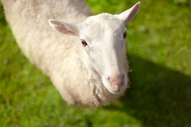 Sheep with grass background stock photo