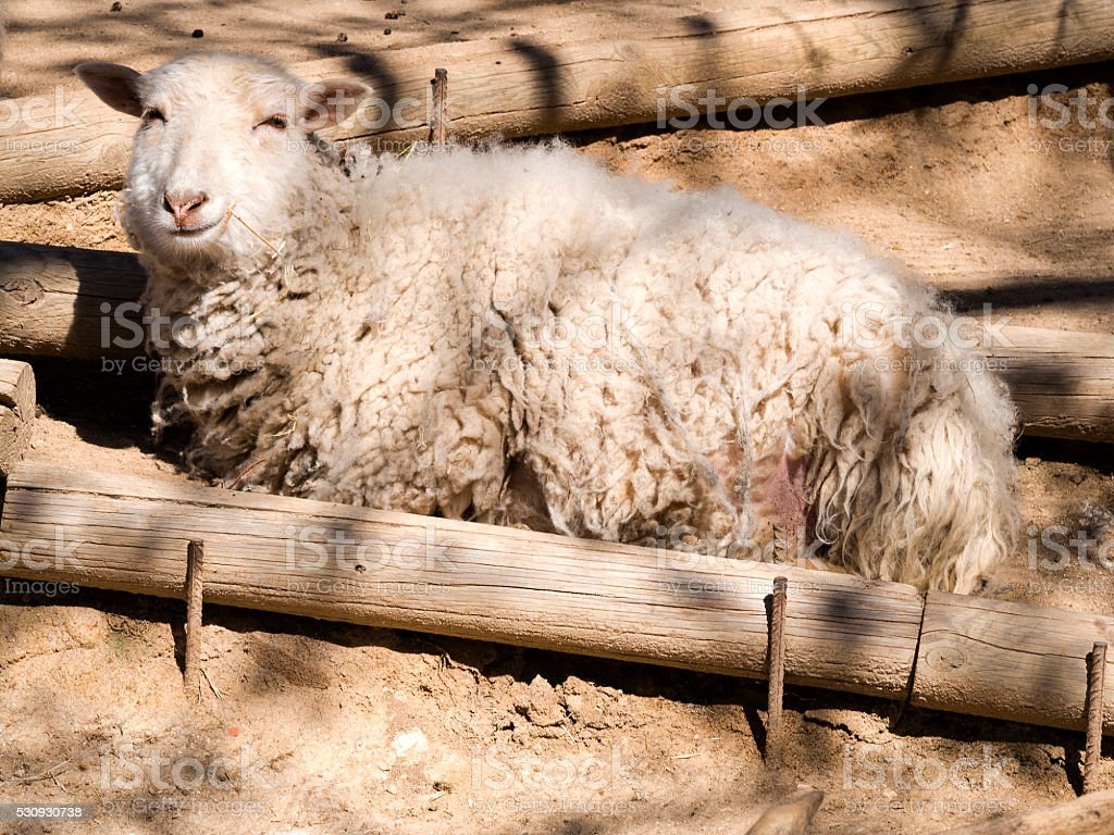 Sheep with happy face stock photo