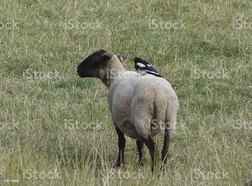 sheep with magpie on it's back hitching a lift stock photo
