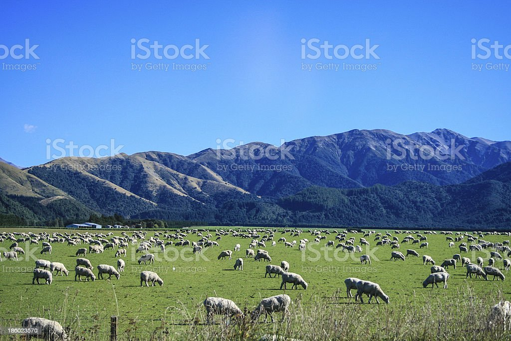 Sheep with Mountain stock photo