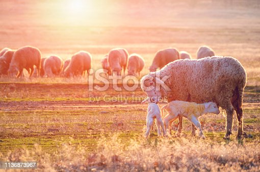 Sheep  with new born lambs drinking milk from their mother.