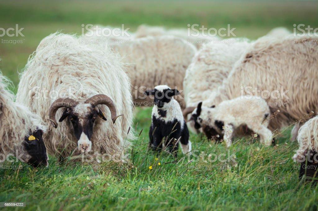 羊的後代 免版稅 stock photo