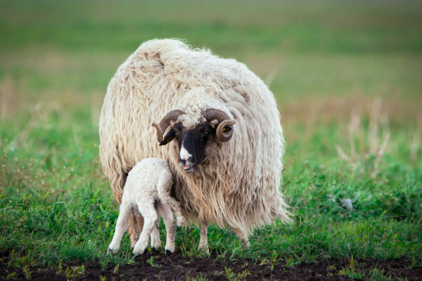 Sheep with offspring stock photo