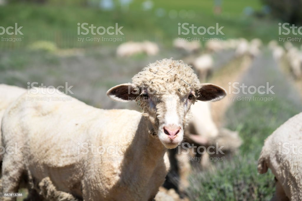 Sheep, with pompadour coif, looking at the camera stock photo