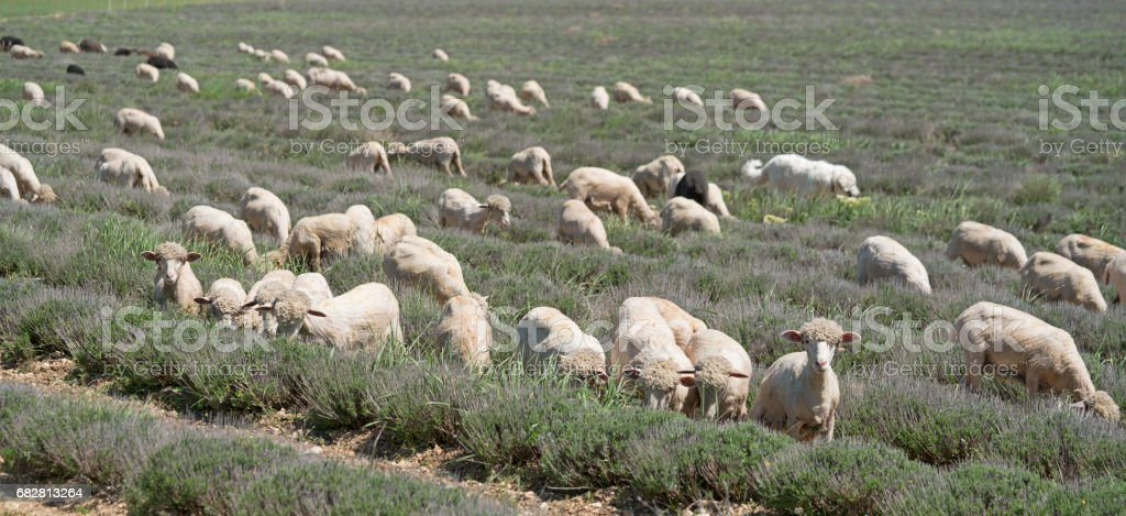 Sheep, with pompadour coifs, grazing between rows of lavender stock photo