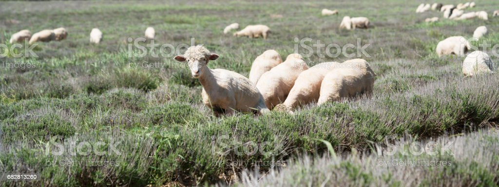 Sheep, with pompadour coifs, grazing in a lavender field stock photo