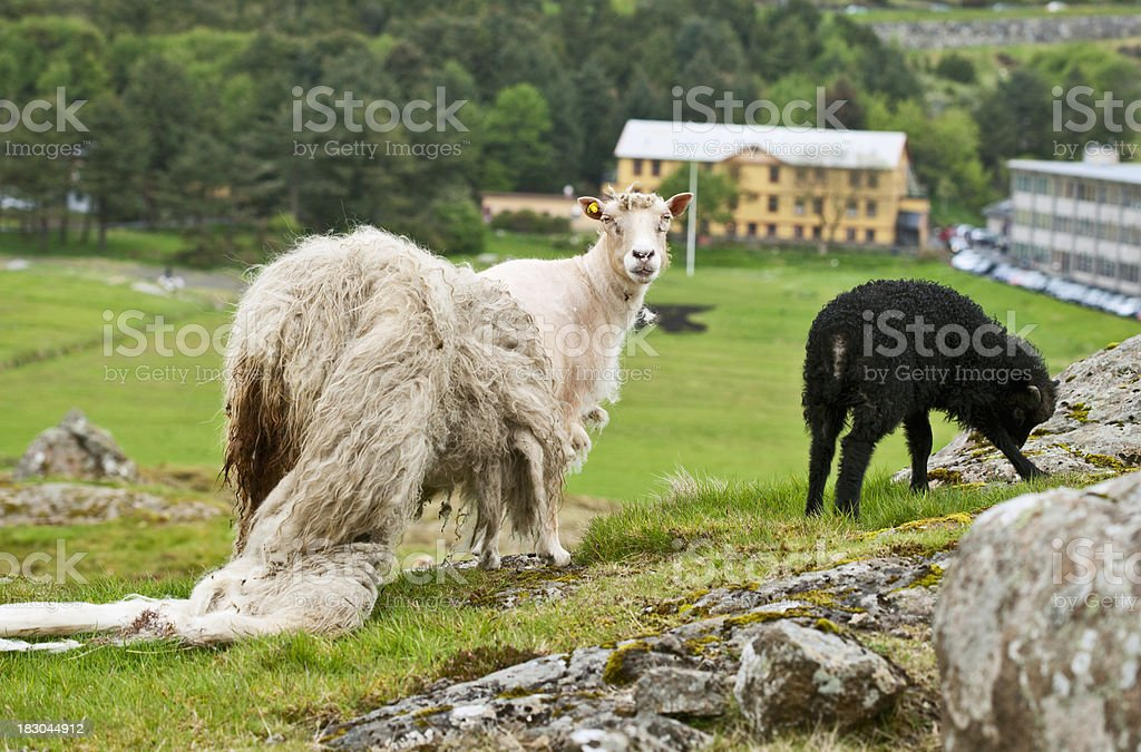 Sheep with shabby wool and yeanling royalty-free stock photo