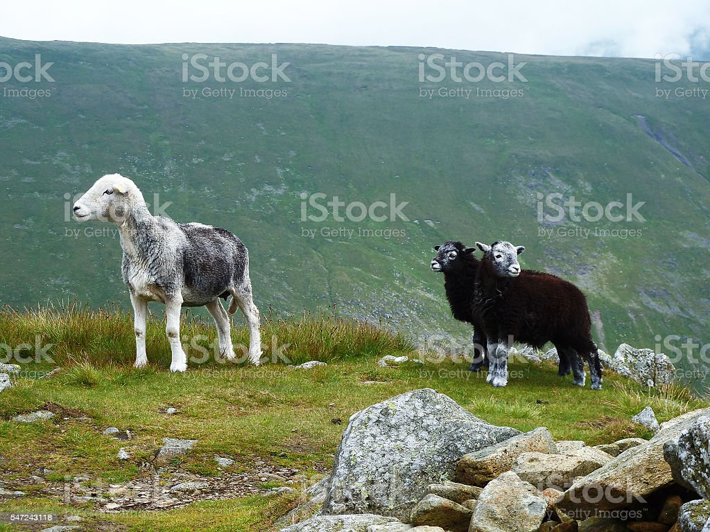 Sheep with two lambs in Lake District stock photo