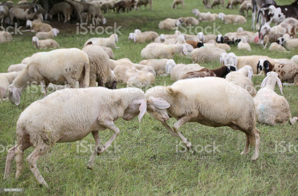 sheep with woolen veil clash headlong stock photo