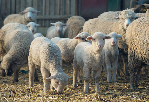 sheep within a mob turn to check out the photographer sheep within a mob turn to check out the photographer merino sheep stock pictures, royalty-free photos & images