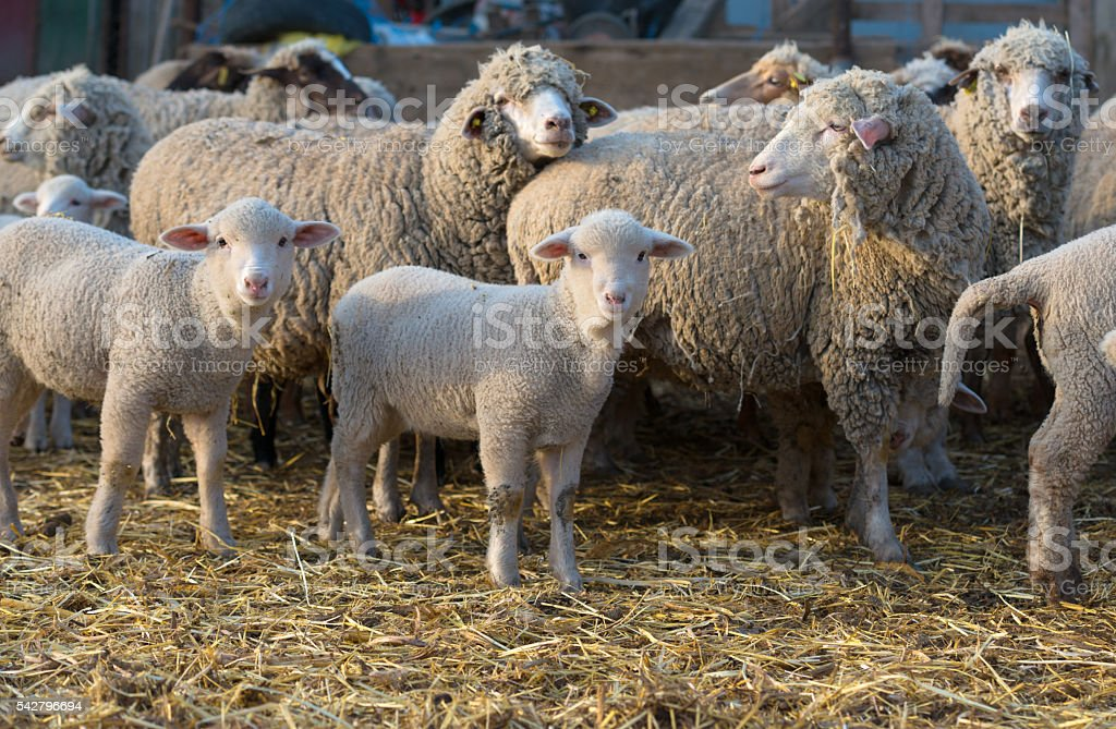 sheep within a mob turn to check out the photographer stock photo